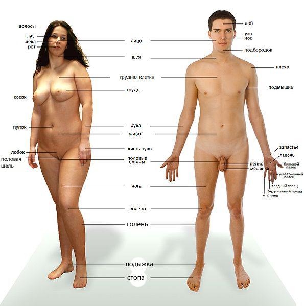 Human_anatomy_ru_2